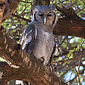 Verreauxs Eagle Owl In Tree by John Shaw