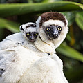 Verreauxs Sifaka With Baby Madagascar by Konrad Wothe