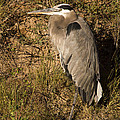 Vertical Heron Basking In The Morning Sun by Jean Noren