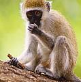 Vervet Monkey by David N. Davis