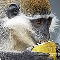 Vervet Monkey Eating An Orange by Brian Gadsby
