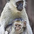Vervet Monkeys by Timothy Hacker