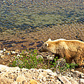 Very Light-colored Grizzly Bear In Moraine River In Katmai Nnp-ak by Ruth Hager