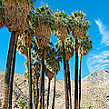 Very Tall Fan Palms In Andreas Canyon In Indian Canyons-ca by Ruth Hager