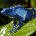 Very Tiny Blue Poison Dart Frog by San Diego Zoo