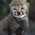 Very Young Cheetah Cub Maasai Mara by Suzi Eszterhas
