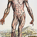 Vesalius: Muscles 01 by Granger