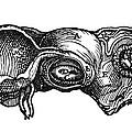 Vesalius: Uterus, 1543 by Granger