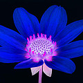 Vibrant Blue Single Dahlia With Pink Centre On Black. by Rosemary Calvert