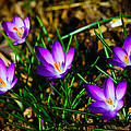 Vibrant Crocuses by Karol Livote