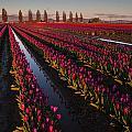 Vibrant Dusk Tulips by Mike Reid