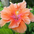 Vibrant Hibiscus by Laurie Perry