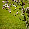 Vibrant Pink Magnolia Blossoms by Arletta Cwalina