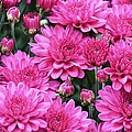 Vibrant Pink Mums by Maria Urso