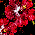 Vibrant Red Hibiscus by Donna Proctor