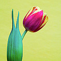 Vibrant Tulip Peace Sign   by Linda Matlow