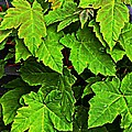Vibrant Young Maples - Acer by Barbara Griffin
