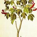 Viburnum Opulus by Rose Santuci-Sofranko