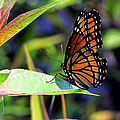 Viceroy 1 by J M Farris Photography