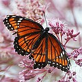 Viceroy Butterfly by Cindy Manero