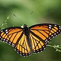 Viceroy Butterfly by Kim Lincicome