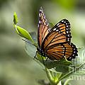 Viceroy Butterfly by Meg Rousher
