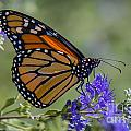 Viceroy Butterfly by Ronald Lutz
