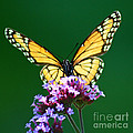 Viceroy Butterfly Square by Karen Adams