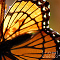 Viceroy Butterfly Wing Square by Karen Adams