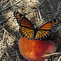Viceroy On Peach by Robyn Stacey