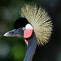 Victoria Crowned Crane by Evan Peller