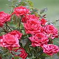 Victorian Rose Garden by Carol Groenen