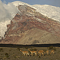Vicuna Herd Grazing At Mt Chimborazo by Pete Oxford