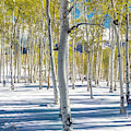 View Of Aspens In Fresh Winter Snow by Panoramic Images