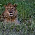 Vigilant Lion by J L Woody Wooden