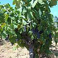 Villa Toscano Vineyards by Susan Woodward