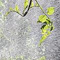 Vine by Kume Bryant