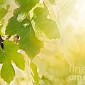 Vine Leaf by Mythja  Photography