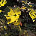 Vine Leaves At Sunset by JG Thompson