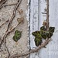Vine On Wall by David Arment