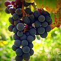 Vine Purple Grapes  by Susan Garren