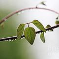 Vine With Raindrops by Trina  Ansel