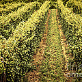 Vines growing in vineyard by Elena Elisseeva