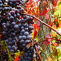 Vines Of October by Roger Bailey