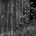 Vines On The Shed by Jim Vance