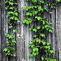 Vines On The Side Of A Barn by Bill Cannon