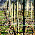 Vines Poles 22649 by Jerry Sodorff