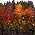 Vineyard And Autumn Trees by Jeff Lowe