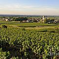 Vineyard And Village Of Pommard. Cote D'or. Route Des Grands Crus. Burgundy.france. Europe by Bernard Jaubert