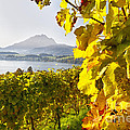 Vineyard At Lake Lucerne by George Oze